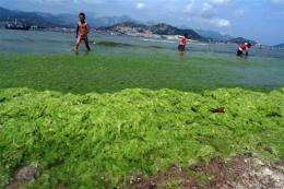 Algae is gaining ground as a potential renewable energy source