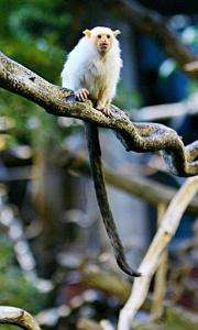 A marmoset at a zoo