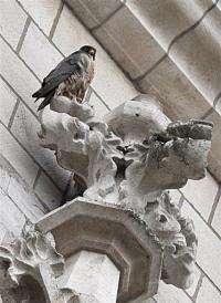 A Peregrine Falcon in seen in Brussels in 2008