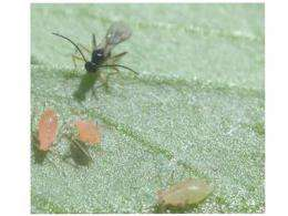 Aphids saved from gruesome death by virus-infected bacteria