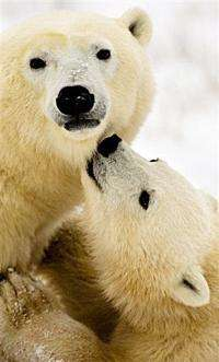 A polar bear cub seeks the attention of its mother on the frozen tundra