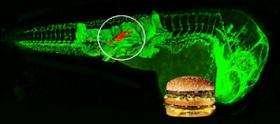 Atherosclerosis Zebrafish