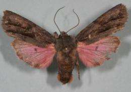 Biologist discovers pink-winged moth in Chiracahua Mountains