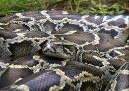 Burmese pythons slithering their way north? (AP)