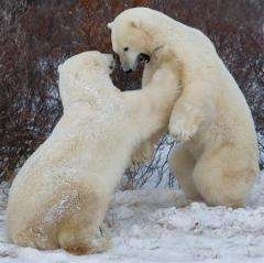 Canada has some 15,500 polar bears, divided into thirteen distinct populations
