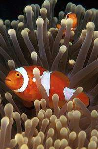 Clownfish provide clues to animal conflicts