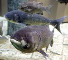 Decision soon on closing lock to stop Asian carp (AP)