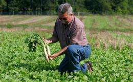 Farmers use radishes to soften, fertilize fields (AP)