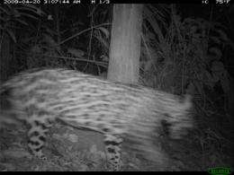 First jaguar photo taken at Smithsonian Research Station in Panama