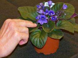 For African violets, 'hands off' means healthier