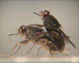Genital stimulation opens door for cryptic female choice in tsetse flies