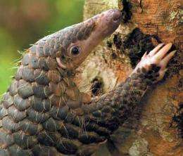 Handout photo from the World Wildlife Fund in Malaysia shows a pangolin climbing a tree
