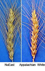 Hard Winter Wheat Varieties Released
