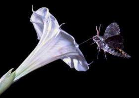 Hawkmoth and Sacred Datura Flower