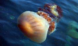 Jellyfish swarm northward in warming world (AP)