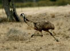 Life is tweet: first bird had hearing like an emu's