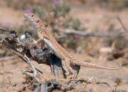Lizards change their diet to avoid predators