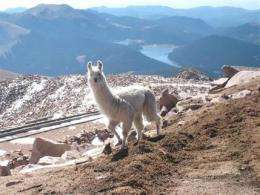 Lone llama rescued after month on Pikes Peak (AP)
