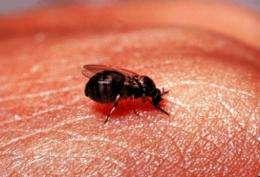 'Magic potion' in fly spit may shoo away blinding eye disease