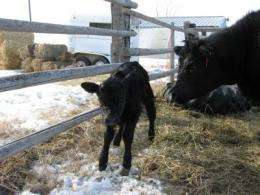 Newborn Calf in Glasgow, Mont.