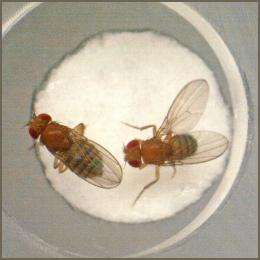New pheromone helps female flies tell suitors to 'buzz off'