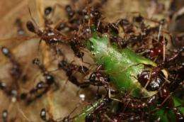 Orphan army ants join nearby colonies