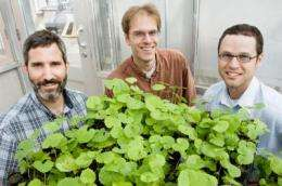 Over time, an invasive plant loses its toxic edge
