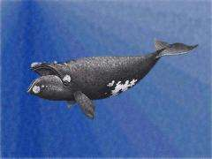 Pacific Northern Right Whale