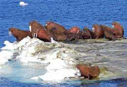 Partial walrus estimate alarms conservation group (AP)