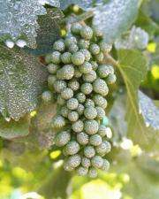 Particle Film on Wine Grapes