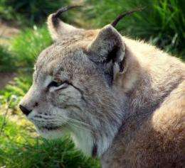 Proposal to reintroduce Iberian lynx on abandoned agricultural land