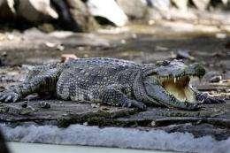 Rare crocs found hiding in plain sight in Cambodia (AP)