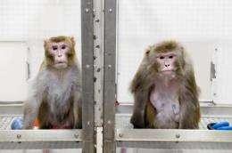 Reduced diet thwarts aging, disease in monkeys