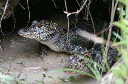 Reintroduced Chinese alligators now multiplying in the wild in China