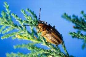 Saltcedar Leaf Beetle