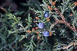 Spread of Western Juniper Seeds Studied