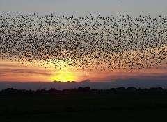 Starlings forming
