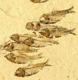 Study unravels why certain fishes went extinct 65 million years ago