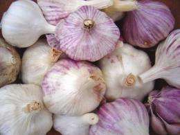 Sustainably grown garlic