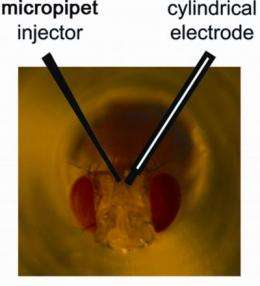 The buzz on fruit flies: New role in the search for addiction treatments