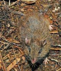 The Hamiguitan batomys, or hairy-tailed rat, is a yellow-brown rodent with a long furry tail