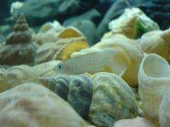 The importance of being helpful -- Cooperative cichlids boost their own reproductive success