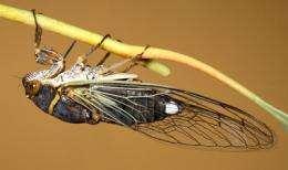 Tiny Bacteria Secret to Cicada's Success