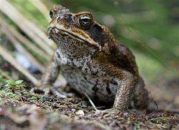 Toxic toads targeted in Australia's 'Toad Day Out' (AP)