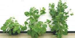Virus-resistant grapevines