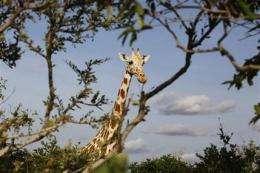 W. Africa's last giraffes make surprising comeback (AP)