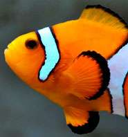Ocean acidification leaves clownfish deaf to predators