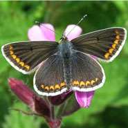 British butterfly is evolving to respond to climate change