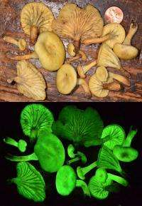 Mushroom lights up the night in Brazil