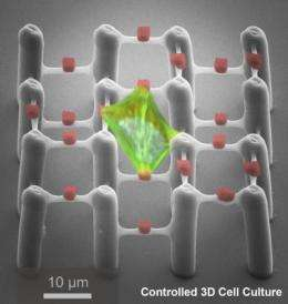Scientists develop 2-component polymer scaffolds for controlled 3-D cell culture